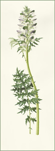 Acanthus spinosus or Bears' Breeches: 27.5cm x 75.5cm