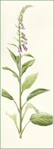 Digitalis purpurea or Fox Glove: 27.5cm x 75.5cm