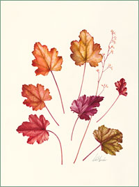 "Heuchera ""Peach Flambe"""