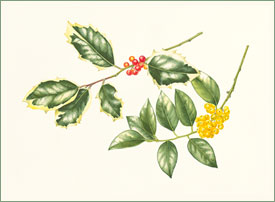 Holly Ilex aquifolia