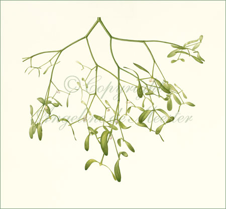Mistletoe – Viscum album