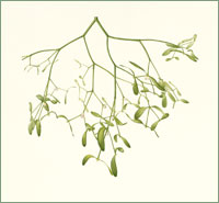 Mistletoe Viscum album