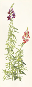 Antirrhinum majus or Snap Dragon