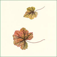 "Heucherella ""Stop Light"""